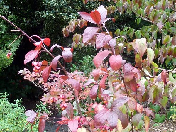 Euonymus latifolius autumn foliage and fruits