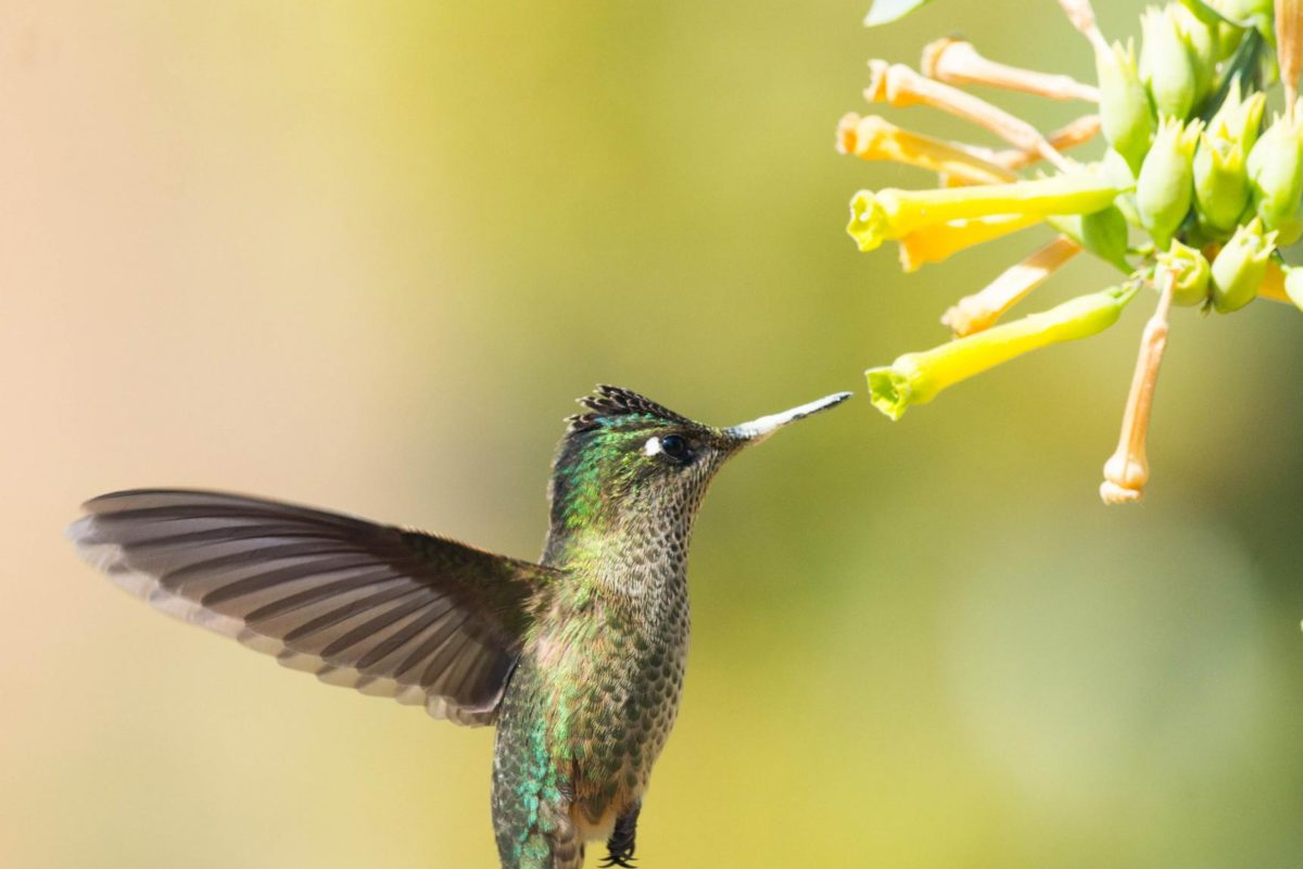 Green-backed firecrown hummingbird