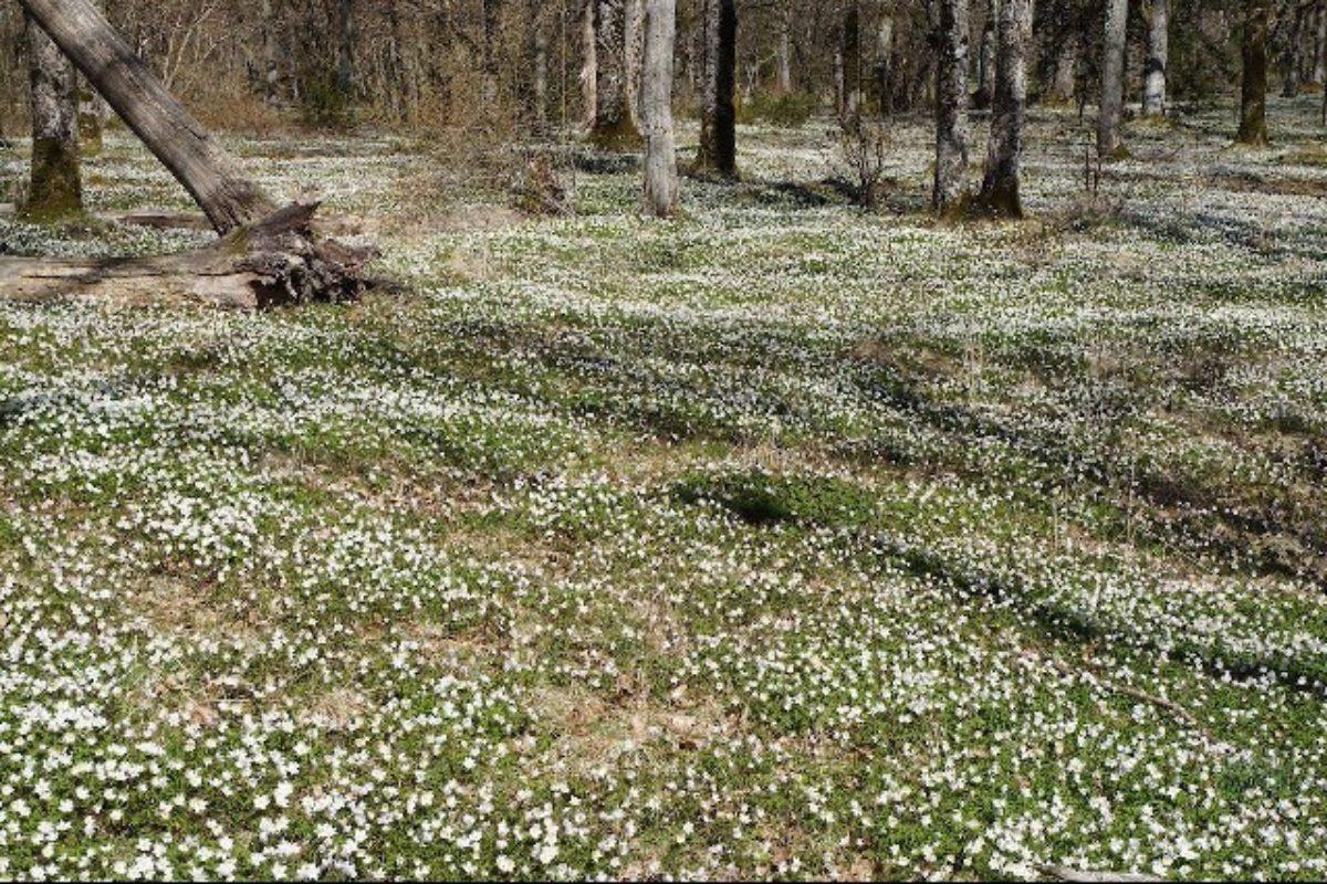 Norwegian woods - Anemone nemorosa (Trond Hoy)