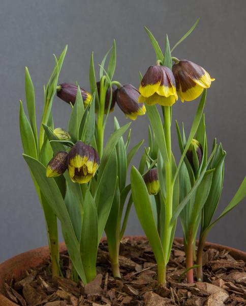 sizedsizedFritillariamichailovskyi_exh_Ben+PaddyParmee_95184996950087