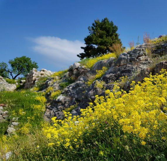 Aurinia saxatilis at Mycenae