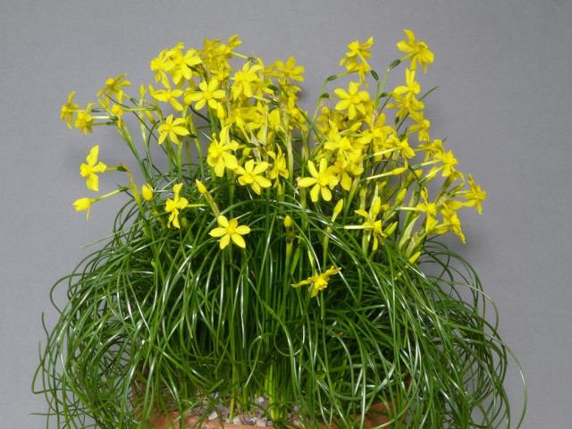Narcissus cordubensis (Exhibitor: Heather Barraclough)