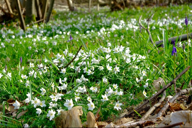 Anemone nemorosa at The Blean woodland in Kent (Photographer: Tim Ingram)