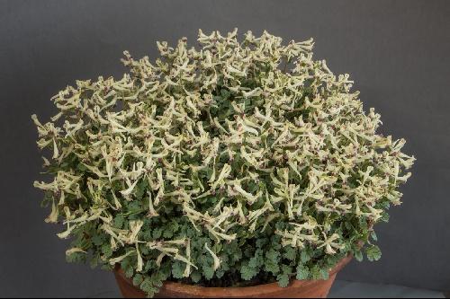 Farrer Medal: Corydalis darwasica (Exhibitor: Bob & Rannveig Wallis)
