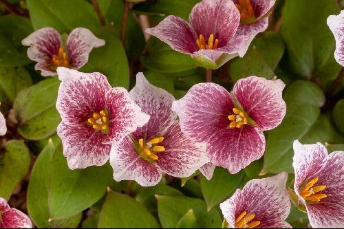 Trillium rivale 'Purple Heart' (Exhibitor: Cyril Lafong)