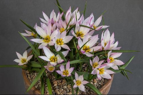Tulipa cretica Mt Dikti form (Exhibitor: Ian Robertson)