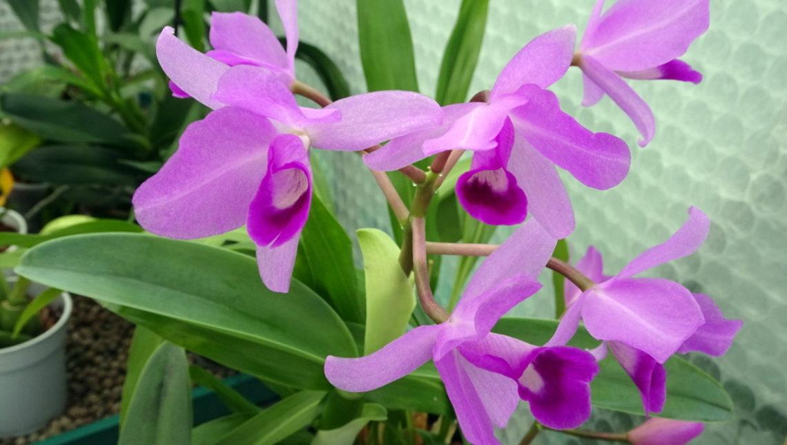 Guarianthe bowringiana