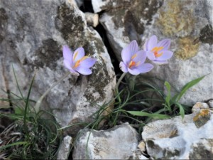 Crocus cambessedesii growing on the Cap Formentor sea cliffs.