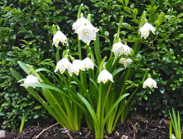 The Spring Snowflake (Leucojum vernum)