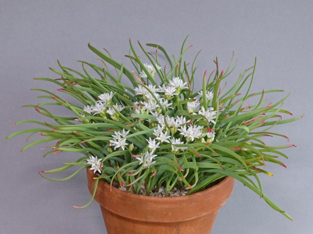 Allium_crenulatum_-_Frank_Dobson