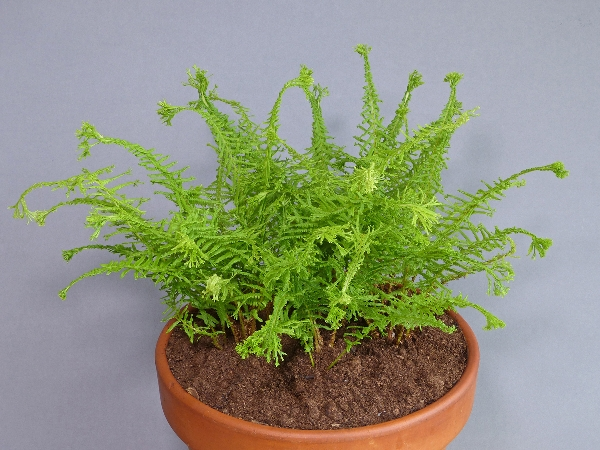 Athyrium filix-femina 'Victoriae' (Exhibitor: Rod & Shirley Johnson)