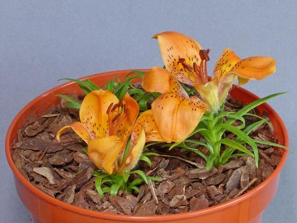 Lilium dauricum rebunense (Exhibitor: Diane Clement)
