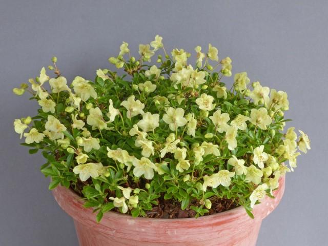 Farrer Medal: Rhododendron lowndesii (Exhibitor: Dave Mountfort)