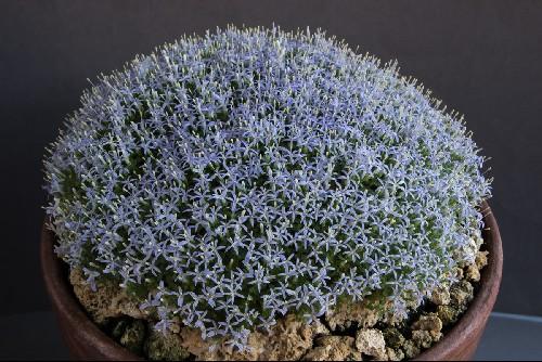 Campanula asperuloides (Exhibitor: Paul & Gill Ranson)