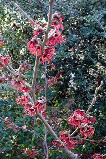 Hamamelis x intermedia 'Rubin'