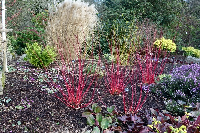 Red-stemmed cornus sanguinea is part of an inspired planting