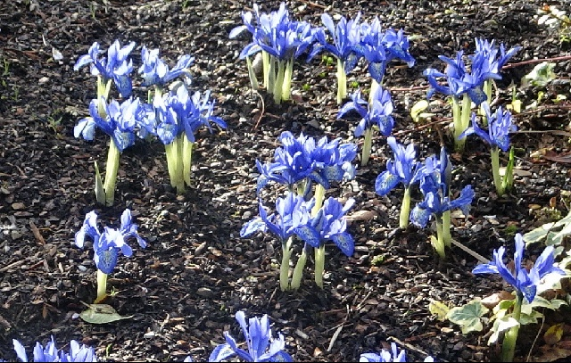 Iris 'Lady Beatrix Stanley'