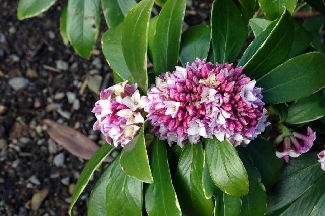 Daphne odora 'Marginata' (flowers look fasciated)