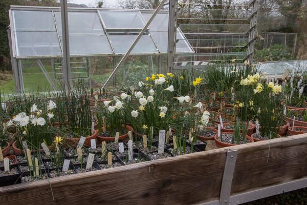 Show pots of Narcissus cultivars.