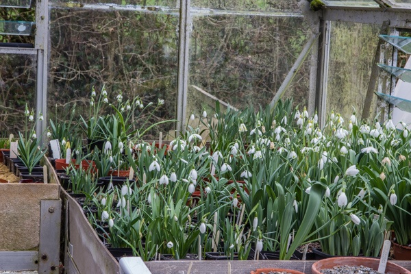 Galanthus species