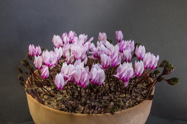 Cyclamen rohlfsianum (Exhibitor: Joy Bishop)