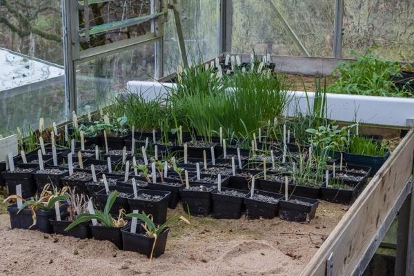 Bulb seedlings