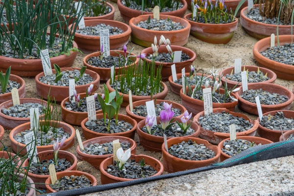 Colchicum trigyna