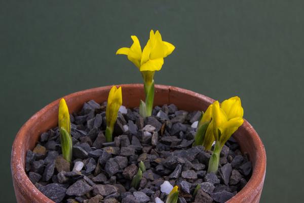 Iris danfordiae JJA 585.900