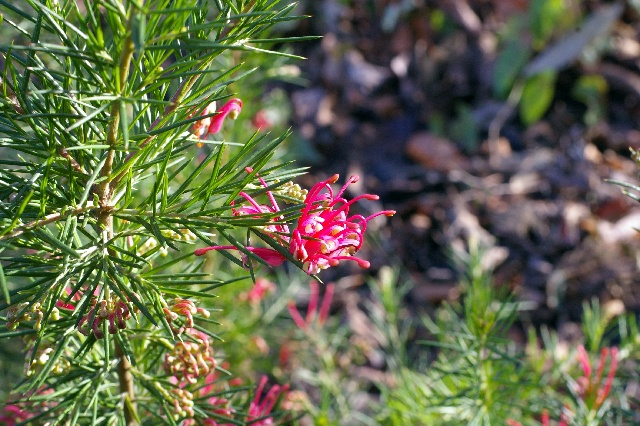 Grevillea rosmarinifolia 'Canberra Gem'