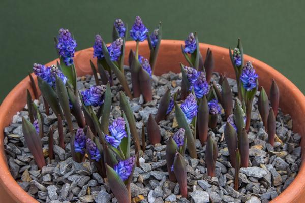 Hyacinthella heldreichii