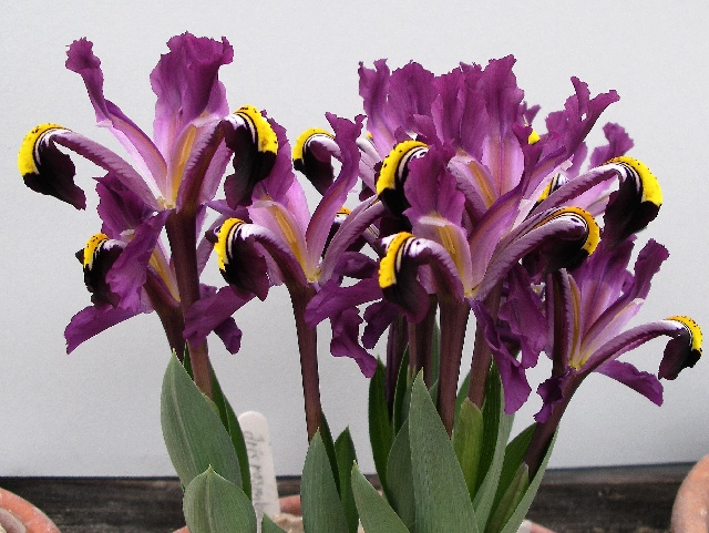 Best entry of a single species, variety of species or hybrid went to Iris rosenbachiana 'Tovil Dara' - Eberhard Proessdorf (Class 81)