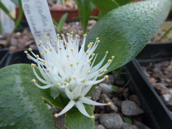 Massonia jasminiflora (poss tenella)