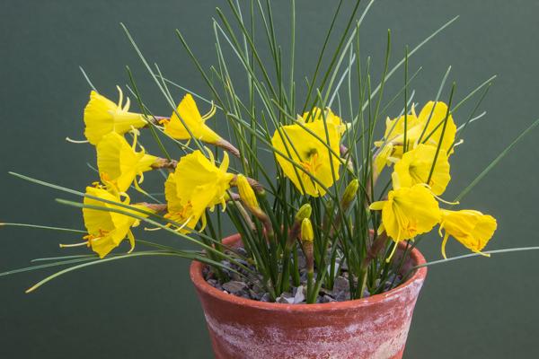 Narcissus 'December Gold'