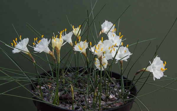 Narcissus cantabricus Rif form twin-scaled