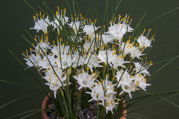 Narcissus cantabricus Rif form