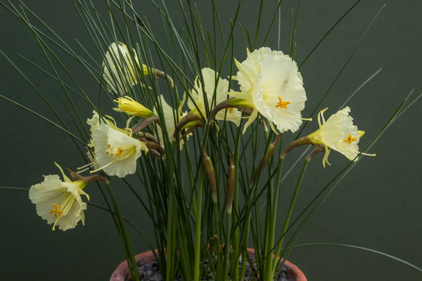 Narcissus cantabricus SF165