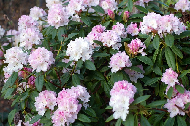 Rhododendron caucasicum 'Christmas Cheer'
