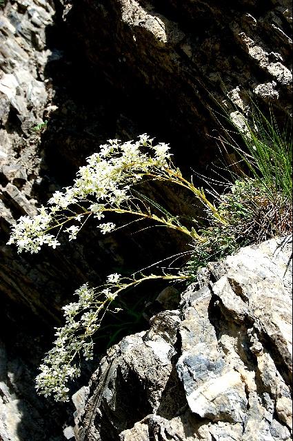 Saxifraga callosa v. australis