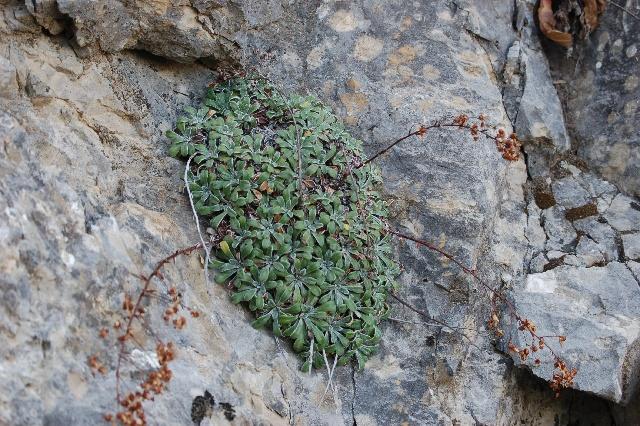 Saxifraga callosa australis