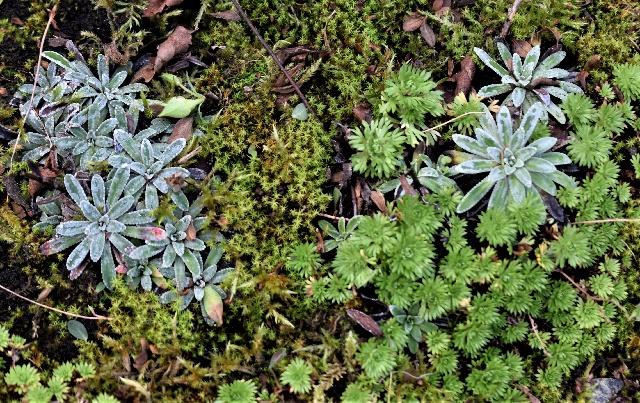 Saxifraga crustata and S. continentalis