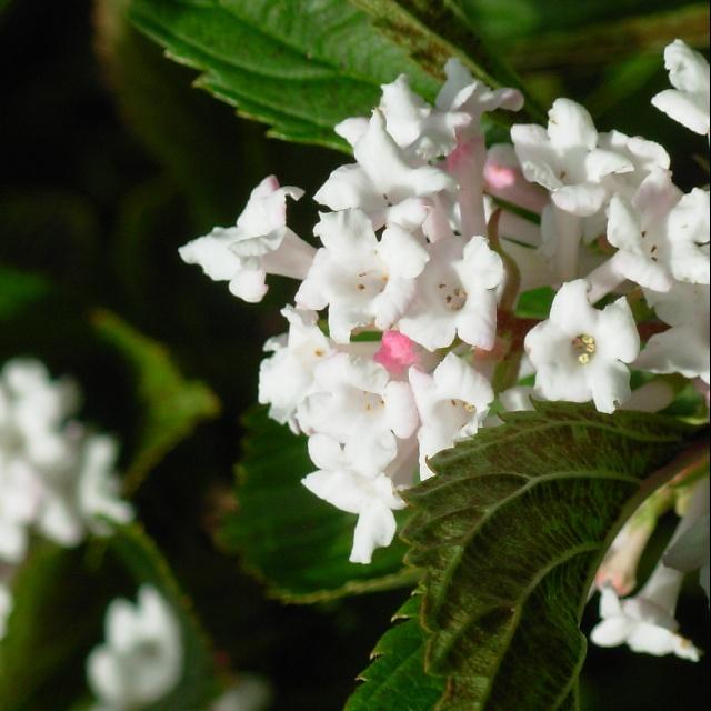 Viburnum farreri close up