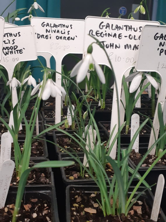 Snowdrops on sale