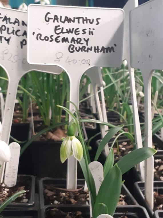 Galanthus elwesii 'Rosemary Burnham'