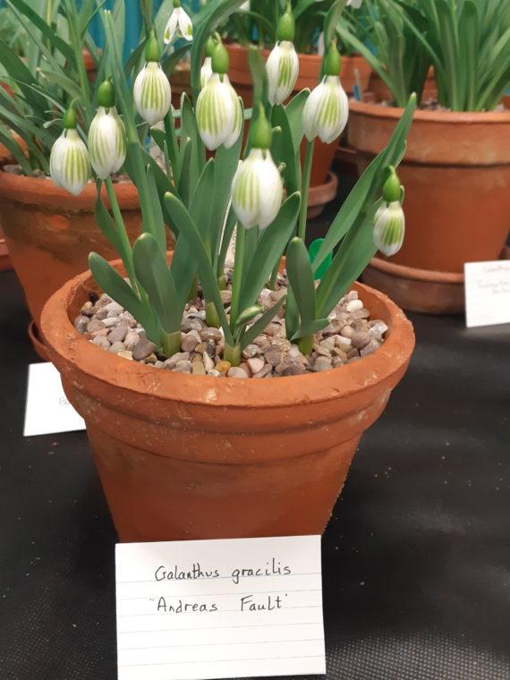 Galanthus gracilis 'Andreas Fault'