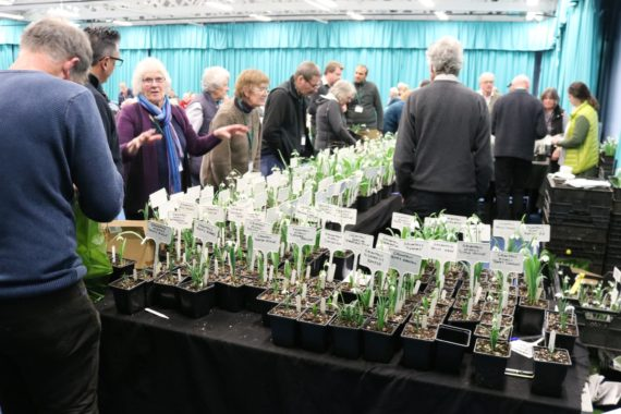 snowdrop bulbs to buy in the green