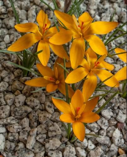 Crocus chrysanthus 'Gundogmus Bronze' (Photographer: Jon Evans)