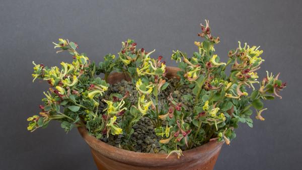 Corydalis firouzii (Exhibitor: Bob & Rannveig Wallis)
