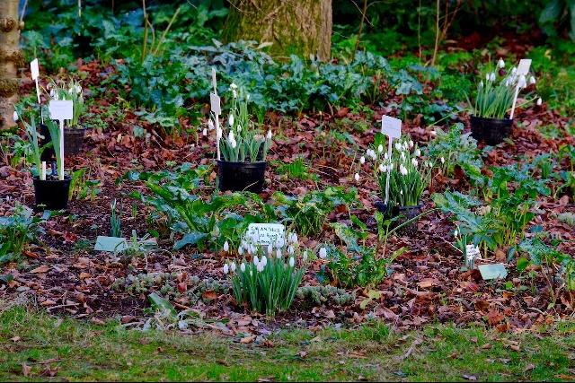 Snowdrop planting