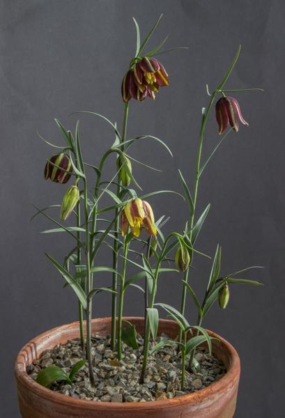 Fritillaria oranensis (Exhibitor: Bob & Rannveig Wallis)
