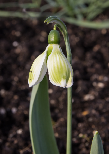Galanthus 'Claude Biddulph'